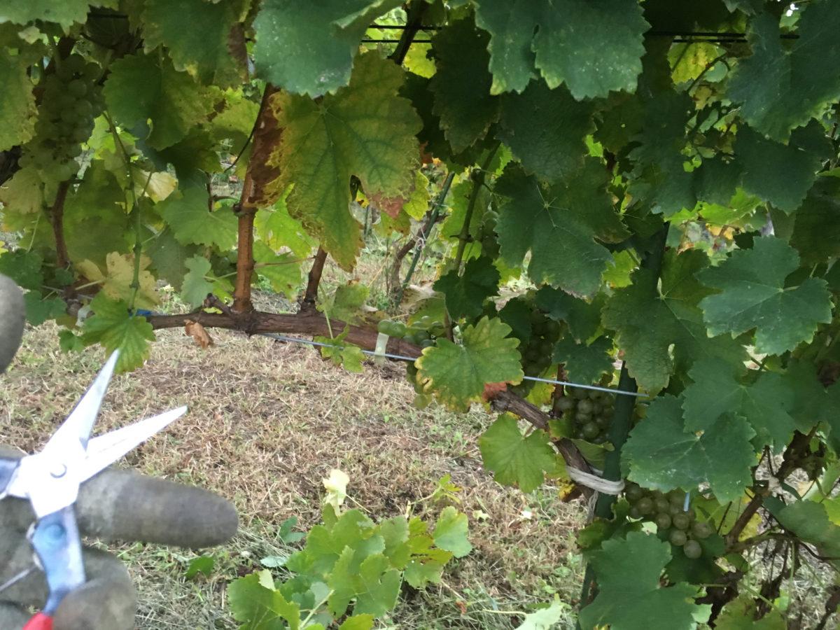 ファースト・ヴィンテージのワイン用ブドウの収穫させていただきました🍀