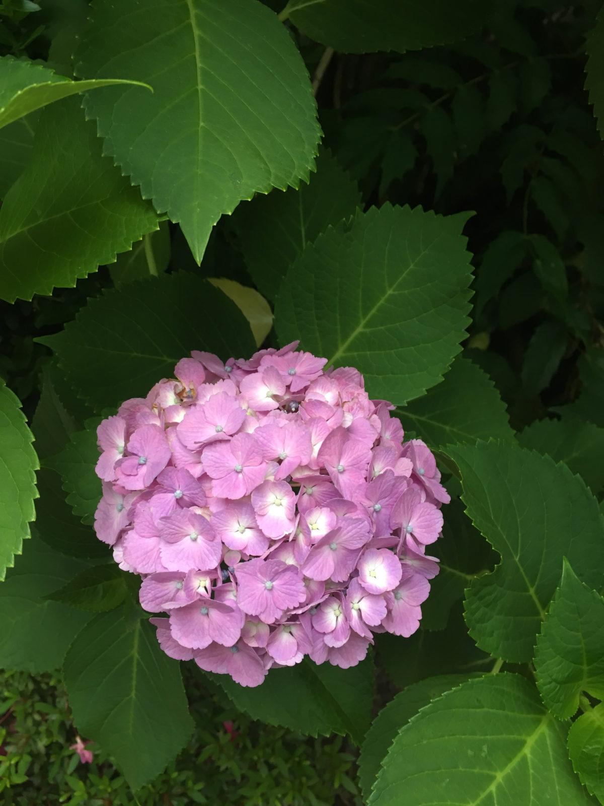 紫陽花 弍